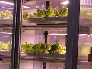 vertikaal gekweekte salade